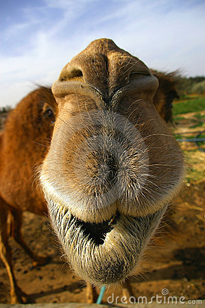 Free Camel Close Up Stock Images - 5022244