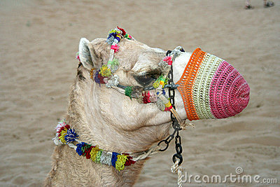 Camel with colorful muzzle