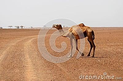 Camel crossing the desert road