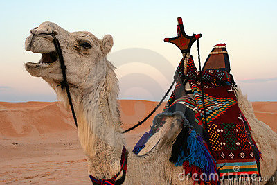 Camel in desert, close-up