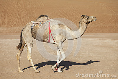 Camel in the desert of Oman