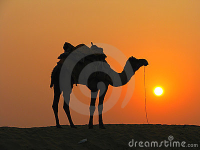A Camel In The Desert At Sunset Royalty Free Stock Photo ...