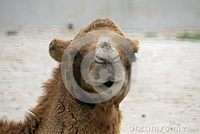 Camel or a Dromedary with tuft of brown hair