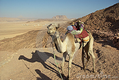 Camel in Egyptian desert
