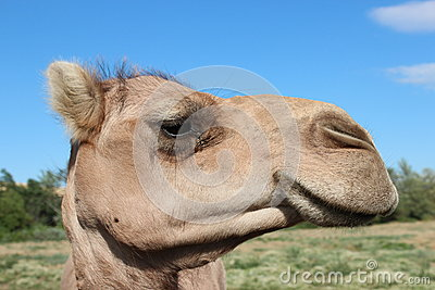 Camel eyeing you