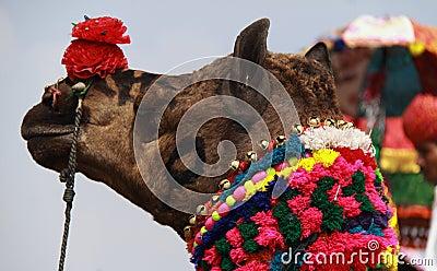 Camel Fair.