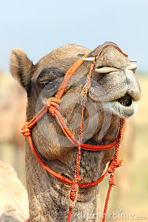 Camel during festival in Pushkar