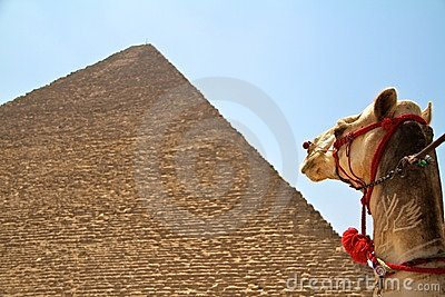 Camel at giza praymids