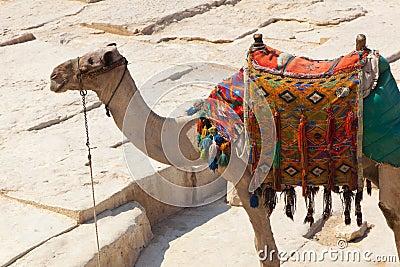 Camel in Giza pyramids, Egypt