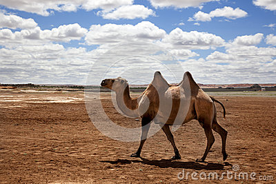 Camel in the Gobi Desert
