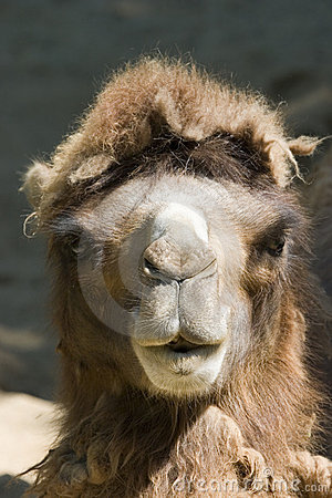 Camel head front