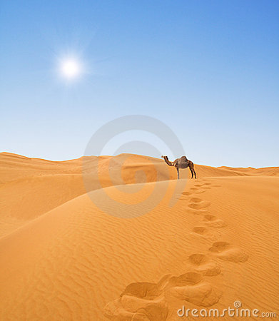 Free Camel In Desert Royalty Free Stock Photography - 10805557