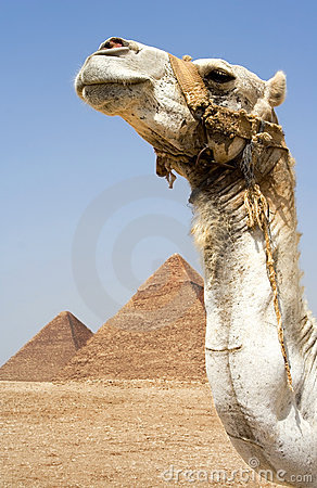 Free Camel In Front Of Pyramids Royalty Free Stock Images - 2769209