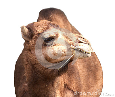 Camel Isolated on White