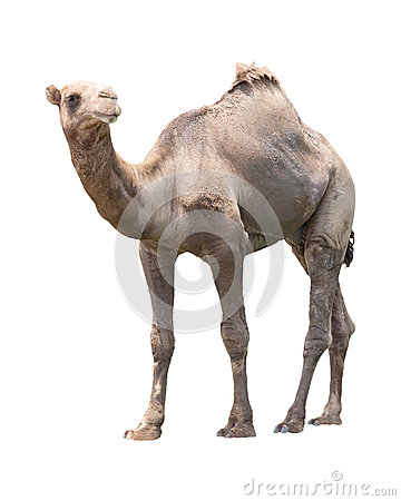 Free Camel Isolated White Stock Photos - 31449523