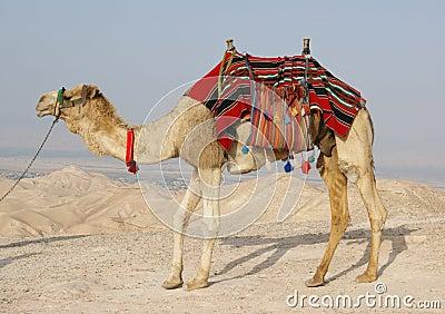 Camel in Judean Desert, Israel