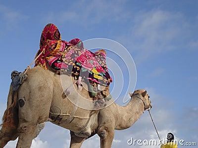 Camel in kenya