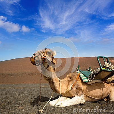 Camel in Lanzarote in timanfaya fire mountains