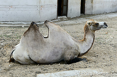 Camel lies