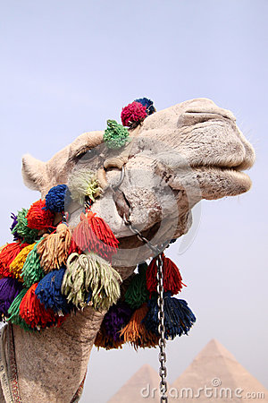 Camel Looking