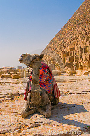 Camel next to pyramid in Giza, Cairo