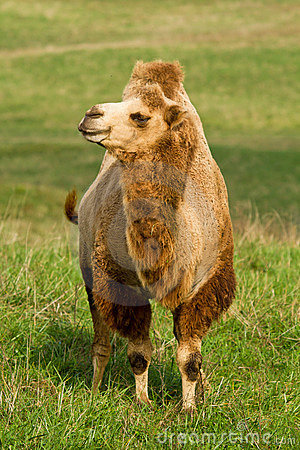 Camel in a pasture