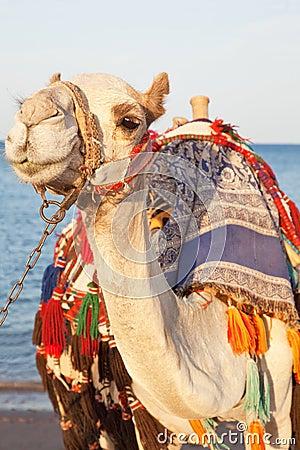 Free Camel Portrait Stock Photo - 9275540
