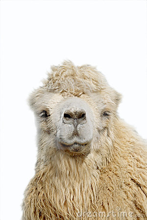 Free Camel Portrait Royalty Free Stock Photo - 9697035