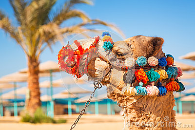 Camel portrait on the beach of Hurghada