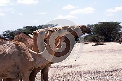 Camel portraits