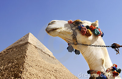 Camel with a Pyramid in background