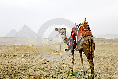Camel and the pyramids of giza