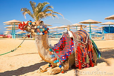 Camel resting in shadow on the beach of Hurghada