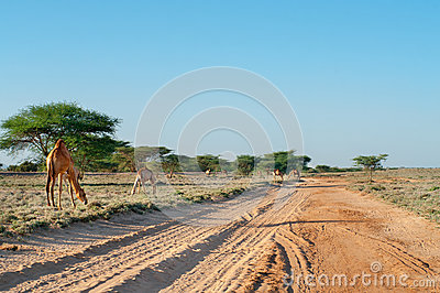 Camel on the road