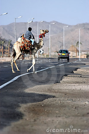 Camel road crossing