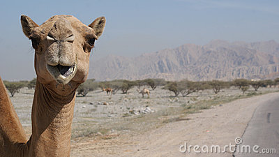 Camel on the roadside