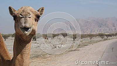Camel on the roadside