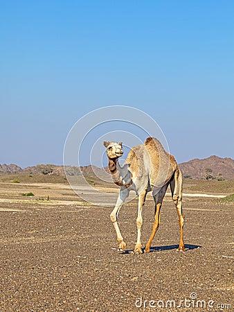Camel in the Rock desert