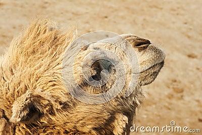 Camel s muzzle
