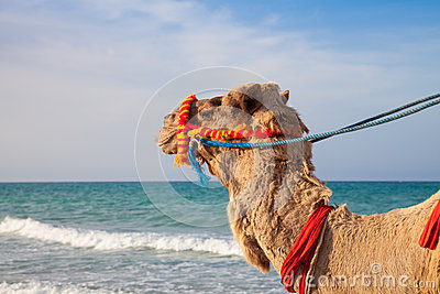 Camel s portrait with sea background
