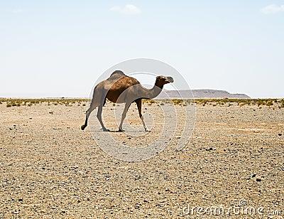 Camel in Sahara in Morocco