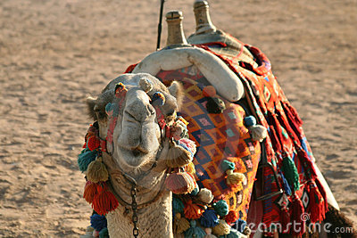 Camel on a sand