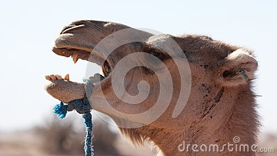 Camel screaming
