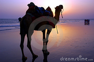 Camel at a seashore during dusk.