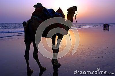 Camel at a seashore during dusk.