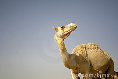 Camel in sede boker desert