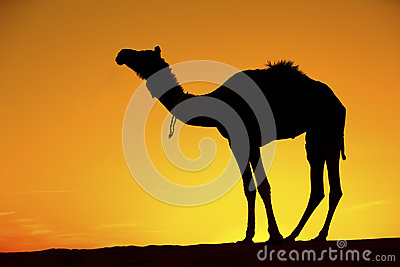 Camel silhouette on sand dunes.