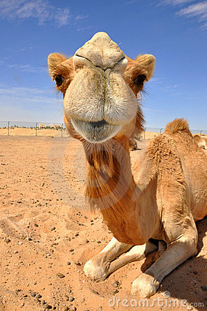Camel sittiing in the desert