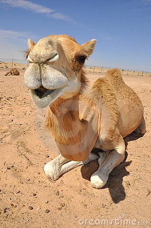 Free Camel Sitting In The Desert Stock Photography - 21238762