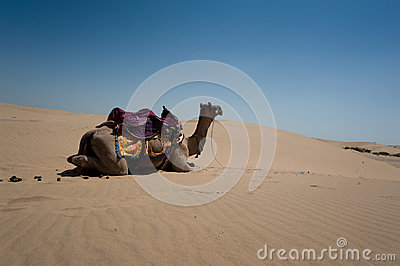 Camel in Thar Desert, India